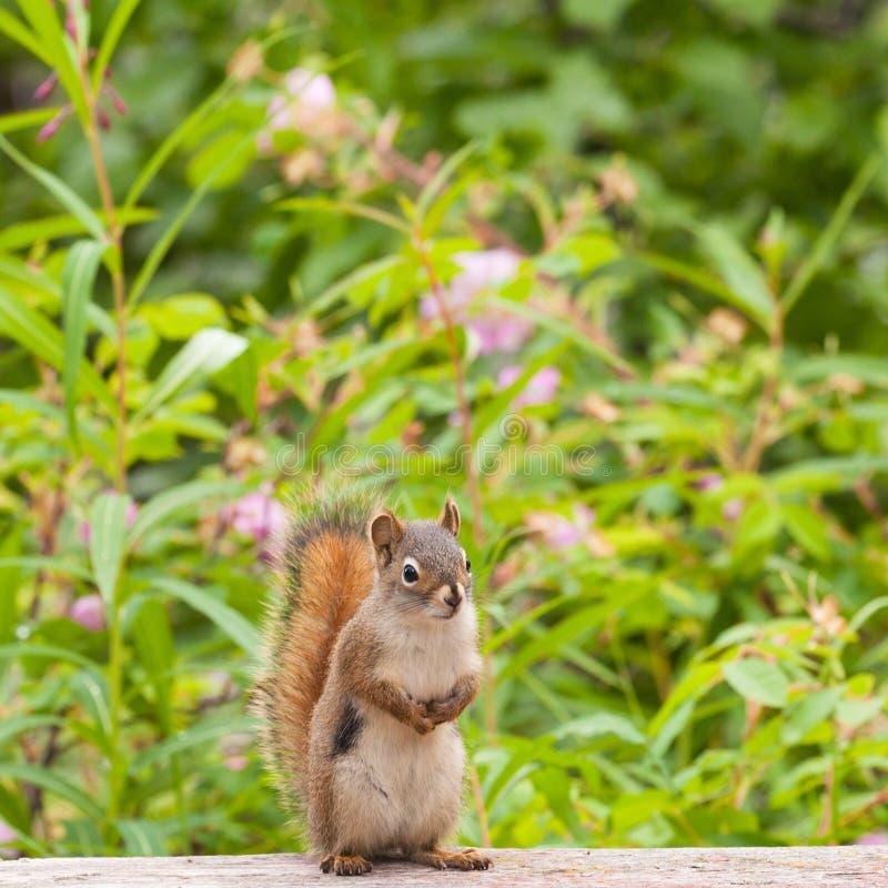 注意美国好奇逗人喜爱的摆在的红松鼠 免版税库存图片