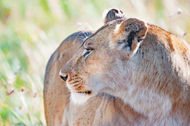 注意雌狮在塞伦盖蒂,坦桑尼亚,非洲,狮子戒备,雌狮警告 免版税库存图片