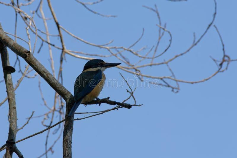 注意食物的一只天蓝色的翠鸟 库存照片