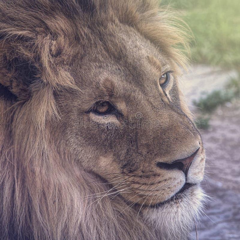注视与清楚的眼睛的狮子 免版税库存图片