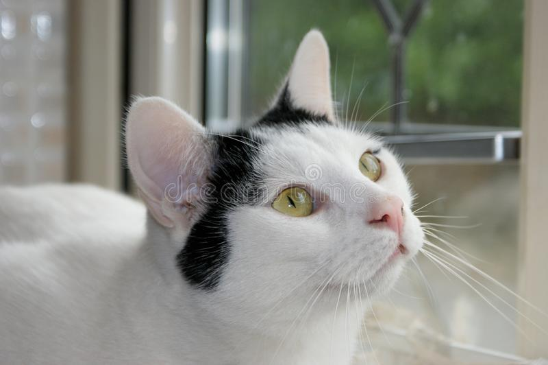 注视入所有者` s的猫注视 库存图片