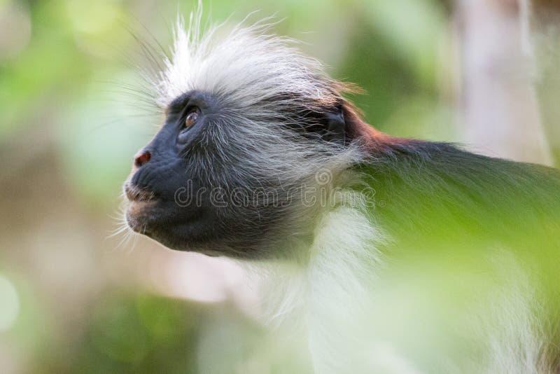 注视入森林的红色短尾猴 免版税图库摄影