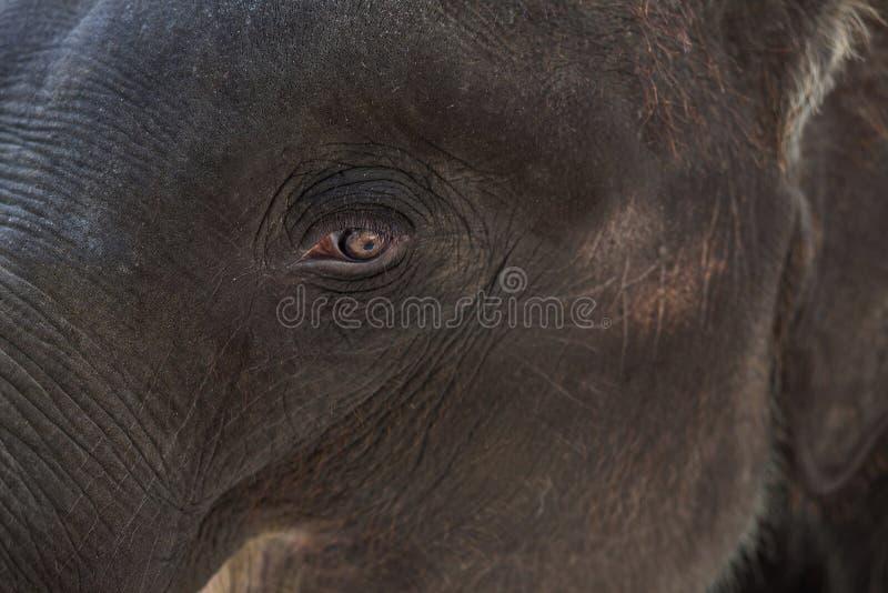 注视大象 库存图片