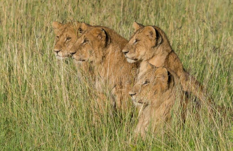 注视牺牲者的狮子 免版税库存图片