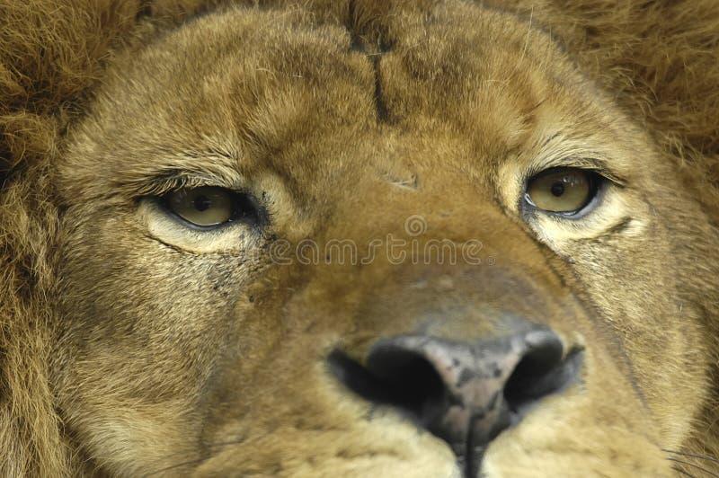 注视狮子 库存照片