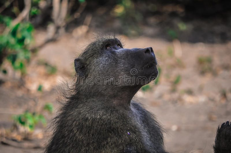注视着在树的狒狒其他狒狒使用 库存图片