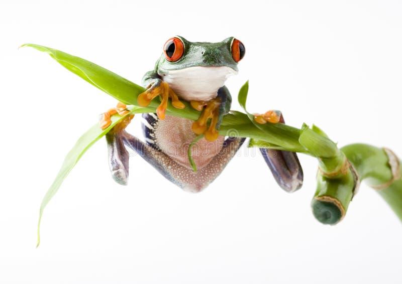 注视青蛙红色 库存图片