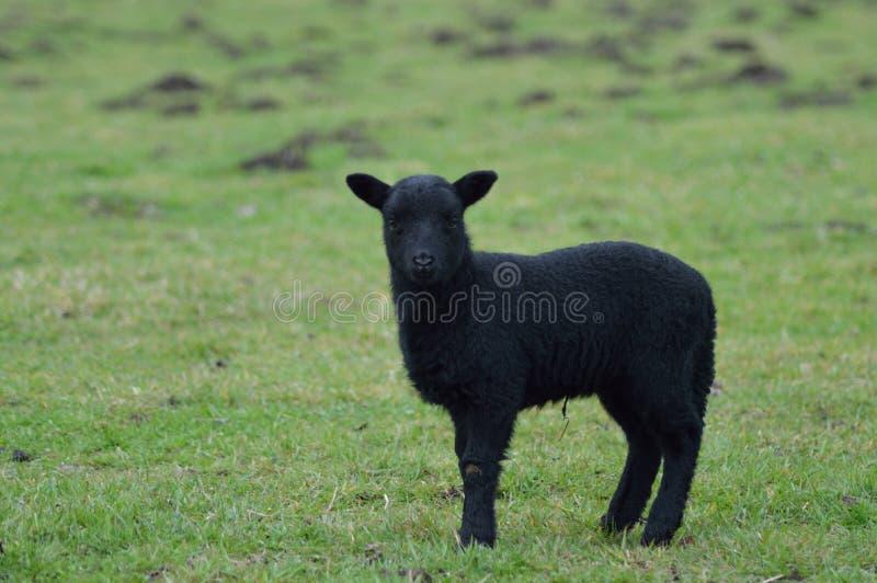 注视绵羊 免版税库存照片