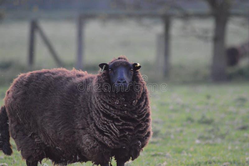 注视绵羊 库存图片