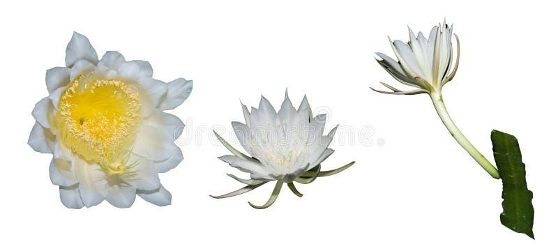 泰国上升的仙人掌花,在泰国称` BOTAN在白色隔绝的花` 免版税图库摄影