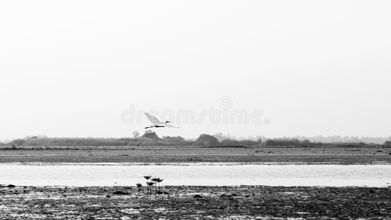 泰国乌东他尼荷湖农汉白鹭飞翔 免版税库存照片
