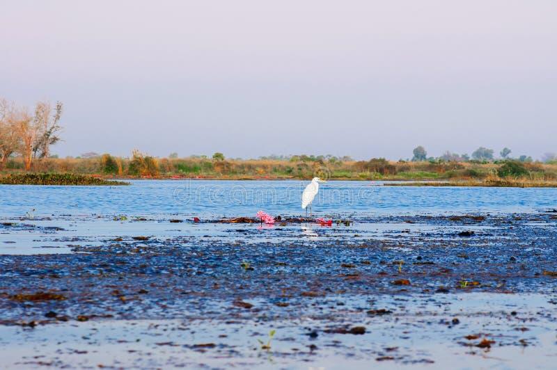 泰国乌东他尼荷湖农汉白鹭 库存照片