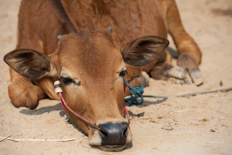 泰国公母牛 免版税图库摄影