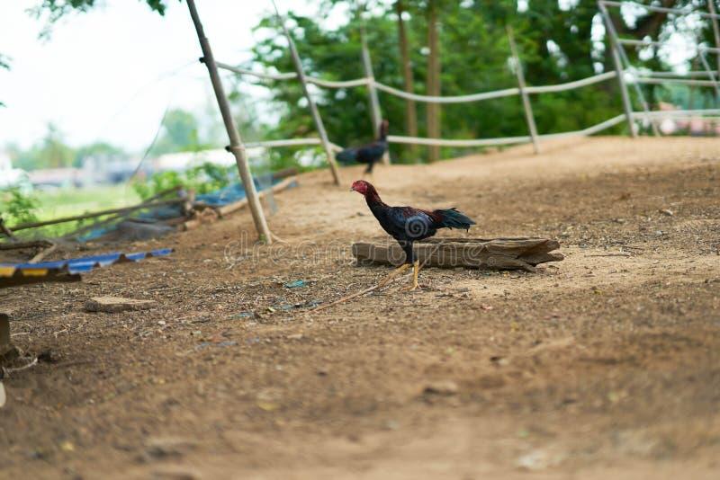泰国公鸡步行在农场 库存照片