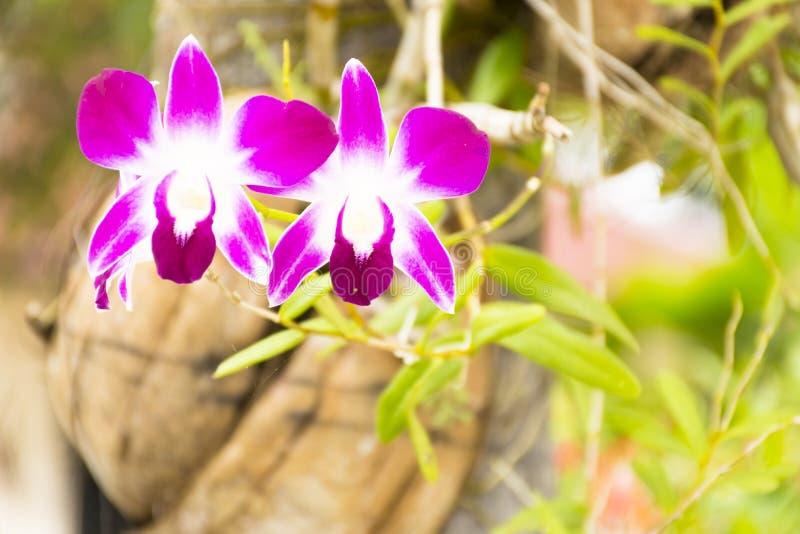 泰国兰花或石斛兰属在树 关闭 免版税库存照片