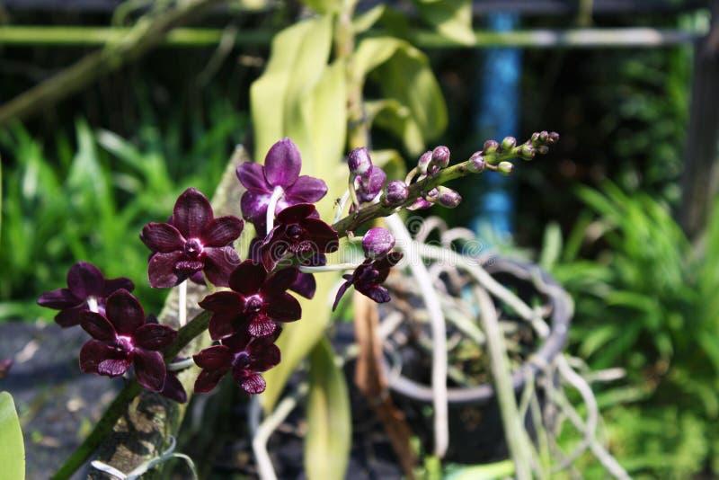 Download 泰国兰花花21 库存图片. 图片 包括有 植物群, beauvoir, bossies, 装饰, 工厂, 颜色 - 59110363