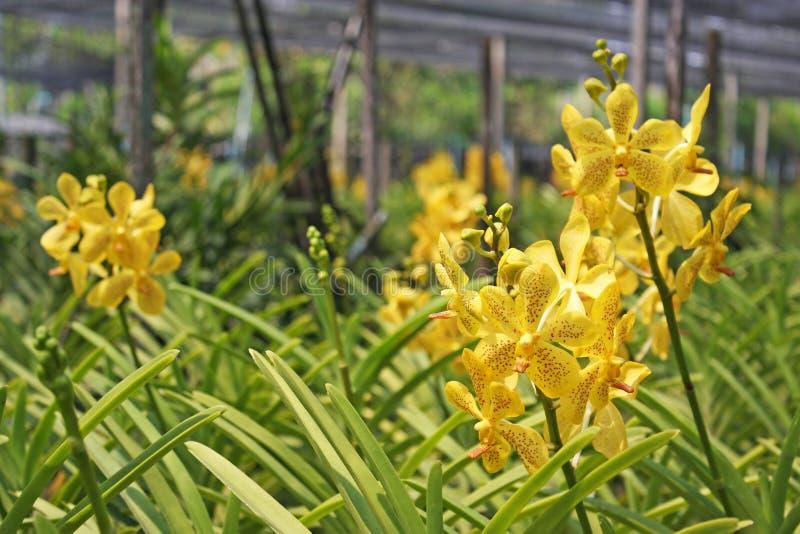 Download 泰国兰花花19 库存照片. 图片 包括有 庭院, 热带, 兰花, beautifuler, 工厂, 异乎寻常 - 59110408