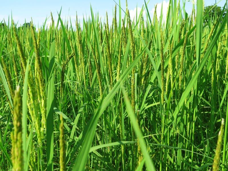 泰国农业米领域 泰国农业 免版税库存图片
