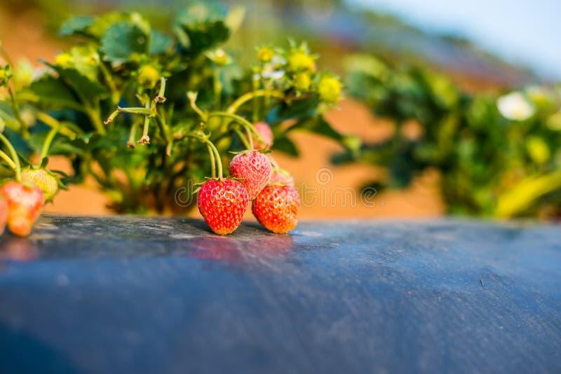 从泰国农场的新鲜的草莓 图库摄影
