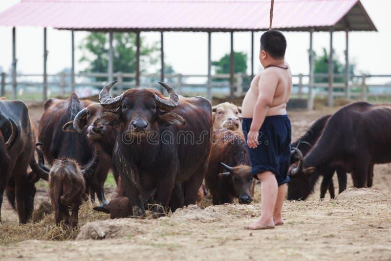 泰国农村传统场面,水牛在农场成群趋向由泰国农夫牧羊人男孩 亚洲内地文化 免版税库存图片