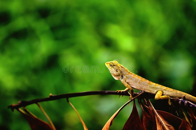 泰国变色蜥蜴 免版税库存图片