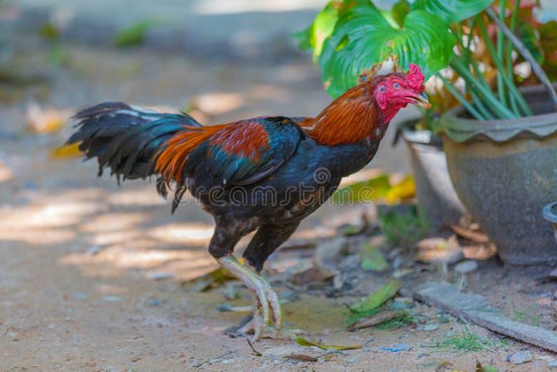 泰国好斗的公鸡在泰国,亚洲东南部,好斗的公鸡泰国传统体育,Gamecube美丽的公雄鸡 库存照片