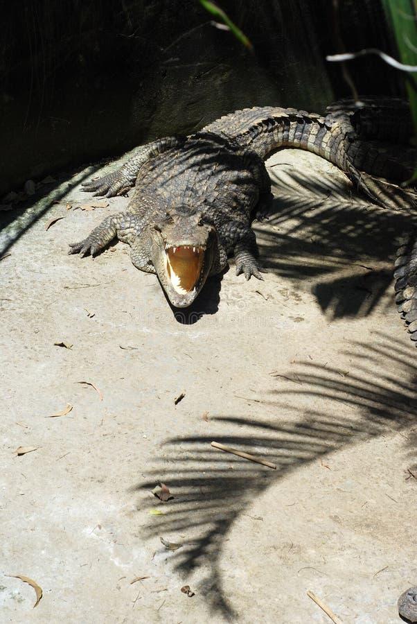 2019102808:泰国普吉岛动物园鳄鱼 库存照片