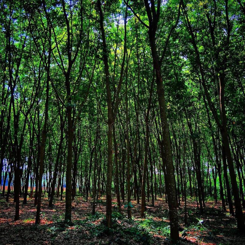 泰国树 库存图片