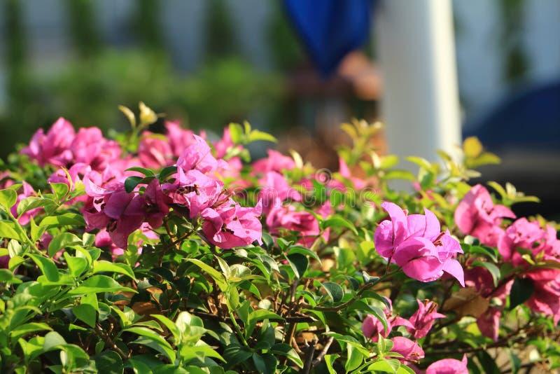 泰国桃红色花 图库摄影