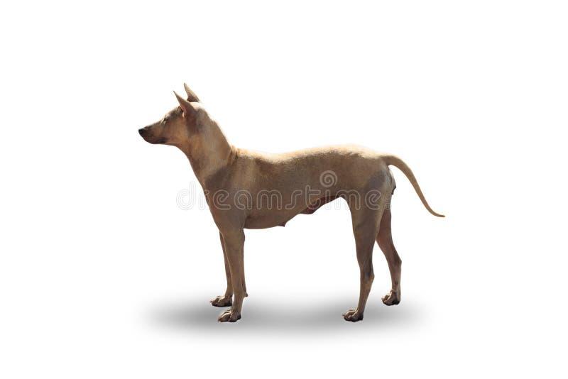 泰国棕色狗 免版税库存照片