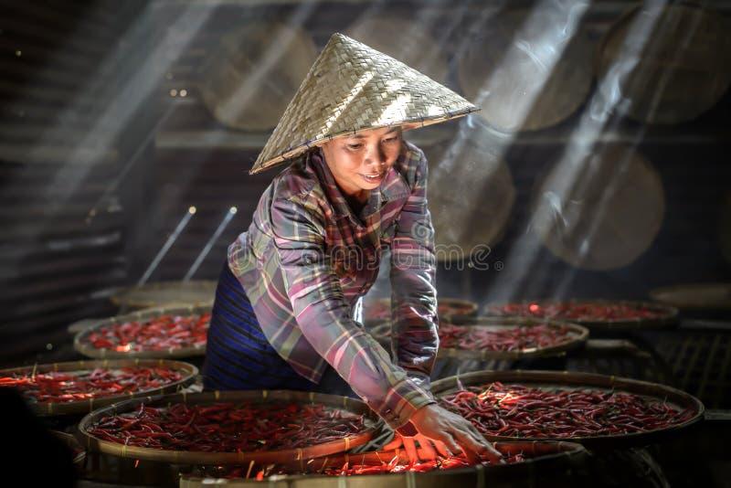 泰国沙孔那坤附近日晒红辣椒加工干燥 库存照片
