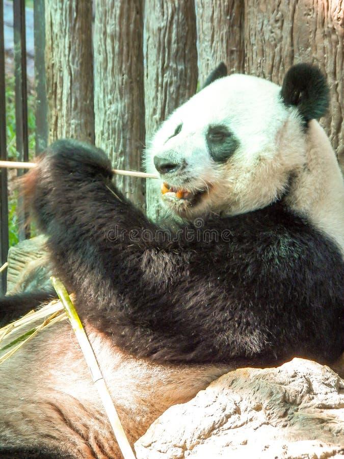 泰国清迈的熊猫 免版税库存照片