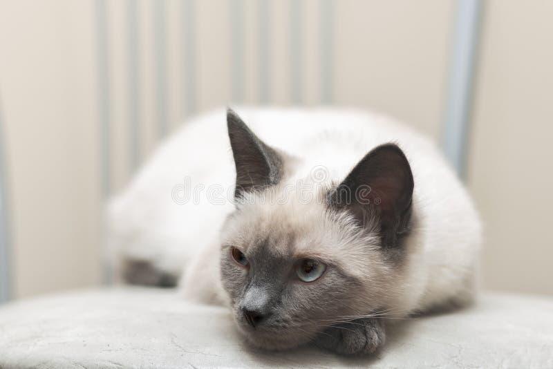 泰国猫在椅子说谎和周道地看  库存图片