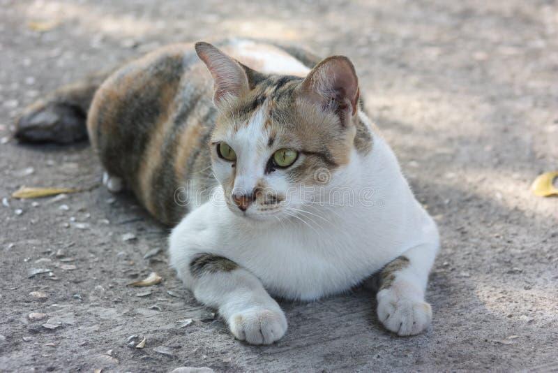 泰国猫是猫一个品种  短发在热带 免版税库存图片