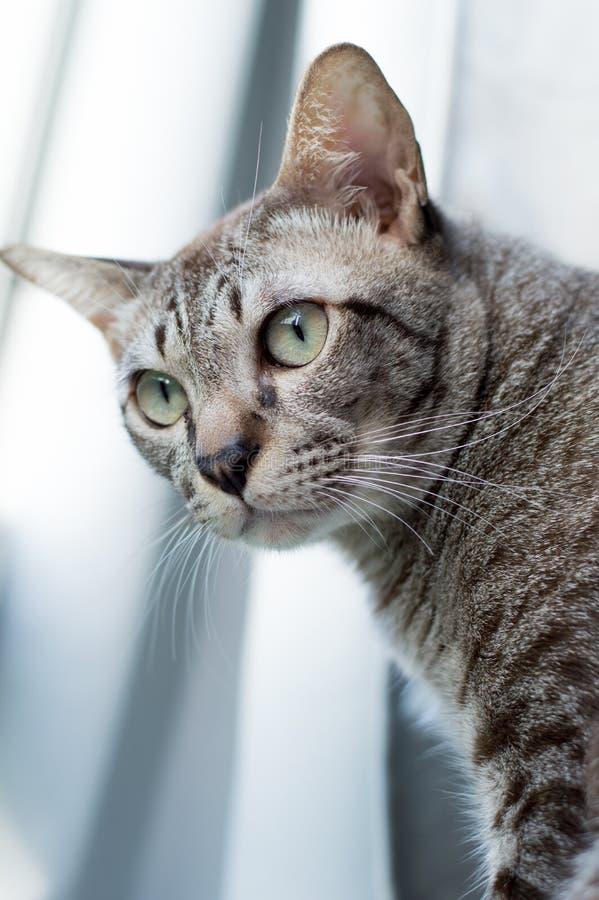泰国猫,看窗口,黄色眼睛的泰国猫 库存图片