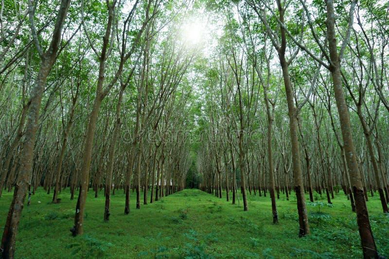泰国的南部的橡胶园 图库摄影