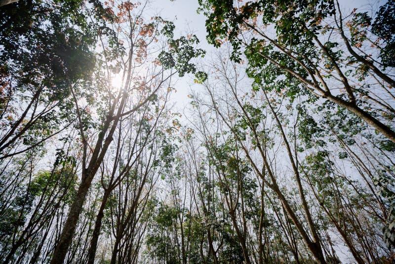泰国的南部的橡胶树森林 免版税库存图片