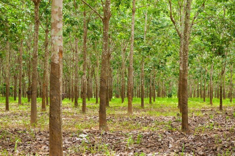 泰国的南部的白拉胶种植园行  免版税库存照片