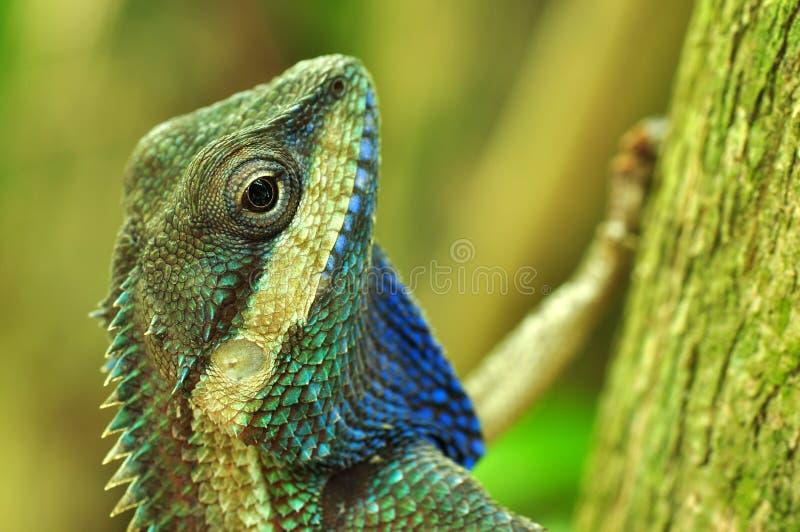 泰国的变色蜥蜴 库存图片
