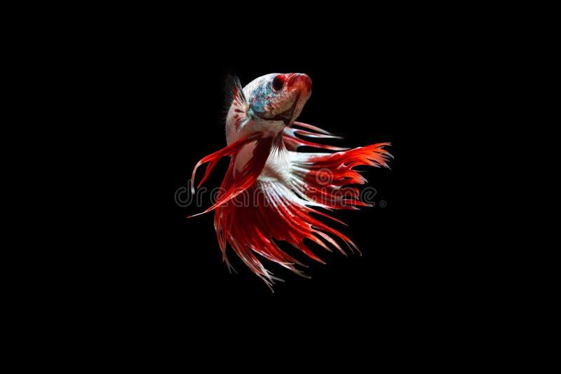 泰国的战斗的鱼 免版税库存照片
