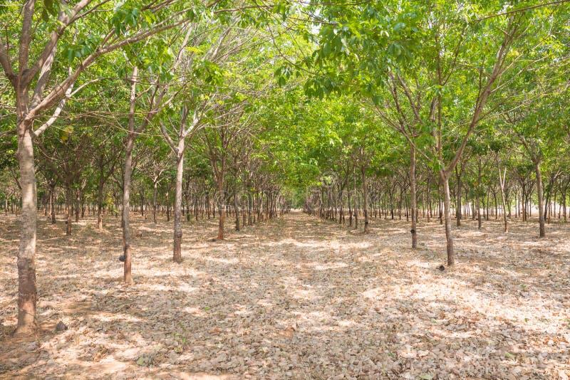 泰国的橡胶树农场作为天然橡胶的来源 库存图片