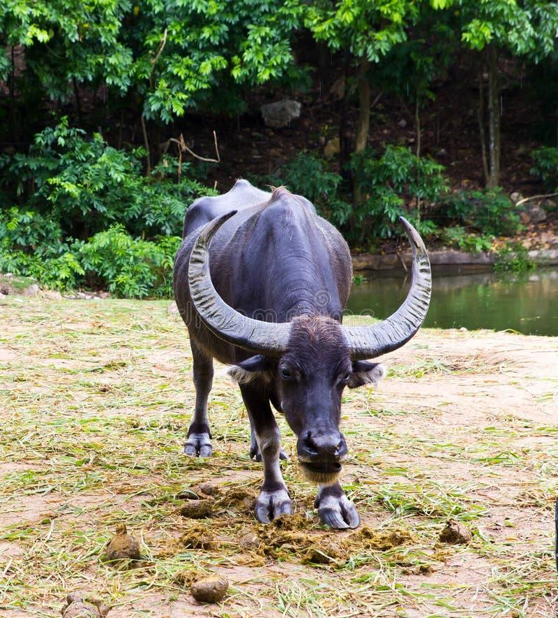 泰国的水牛 免版税库存图片