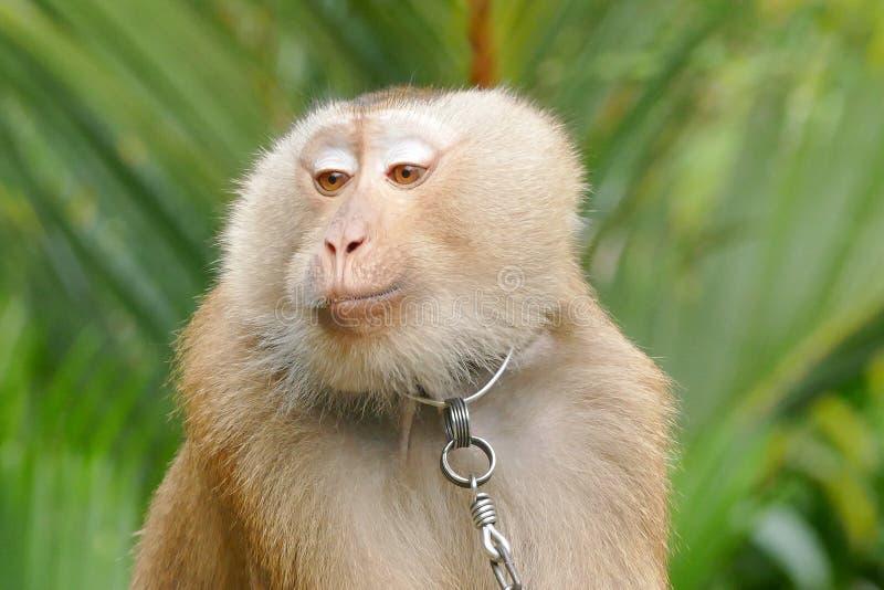泰国短尾猿猴子 库存照片
