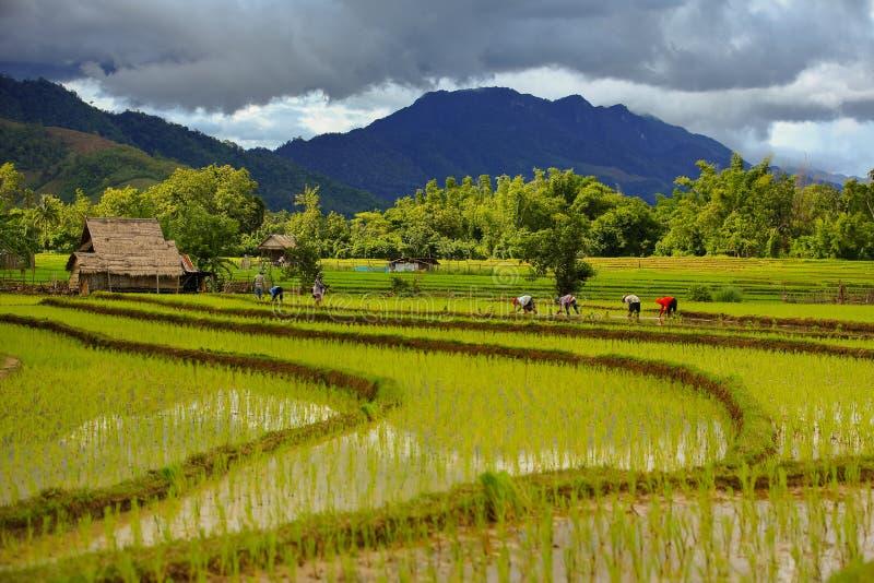 泰国种植工作在领域的农夫米 举行米手中雨季节更多云彩背景山 免版税图库摄影