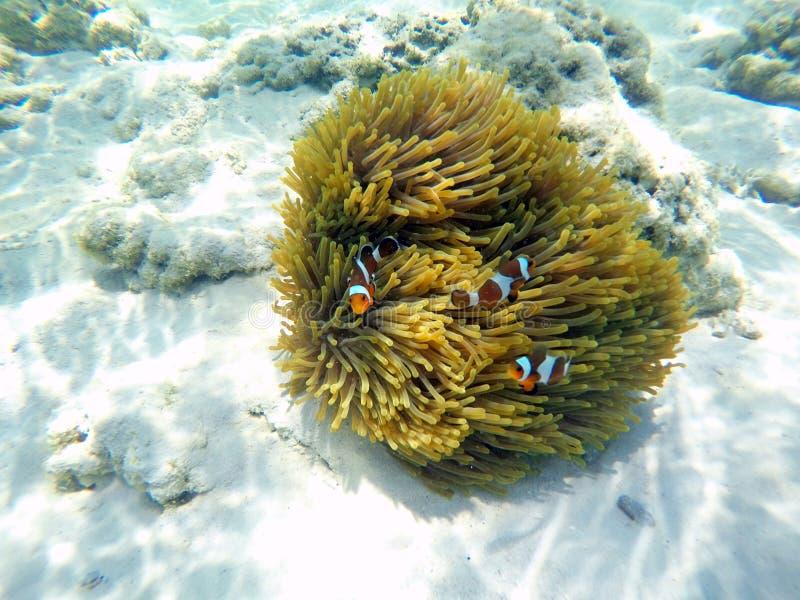 泰国苏林群岛海葵 库存照片