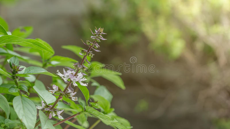 泰国蓬蒿在庭院里 蓬蒿甜点 罗勒属basilicum 库存照片