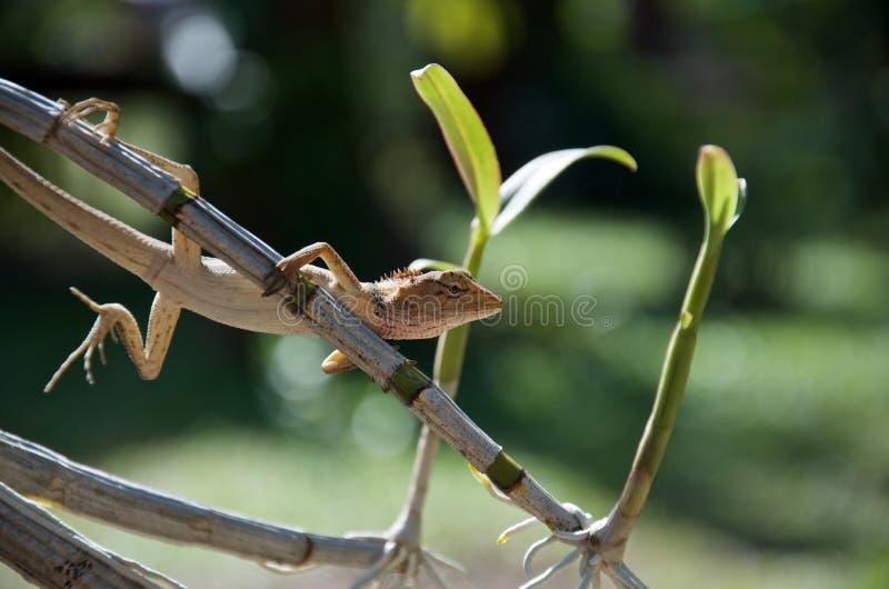 泰国长尾的蜥蜴坐兰花茎  免版税库存照片