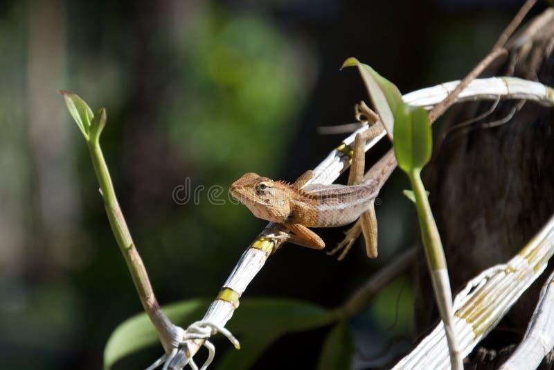 泰国长尾的蜥蜴坐兰花茎  免版税库存图片
