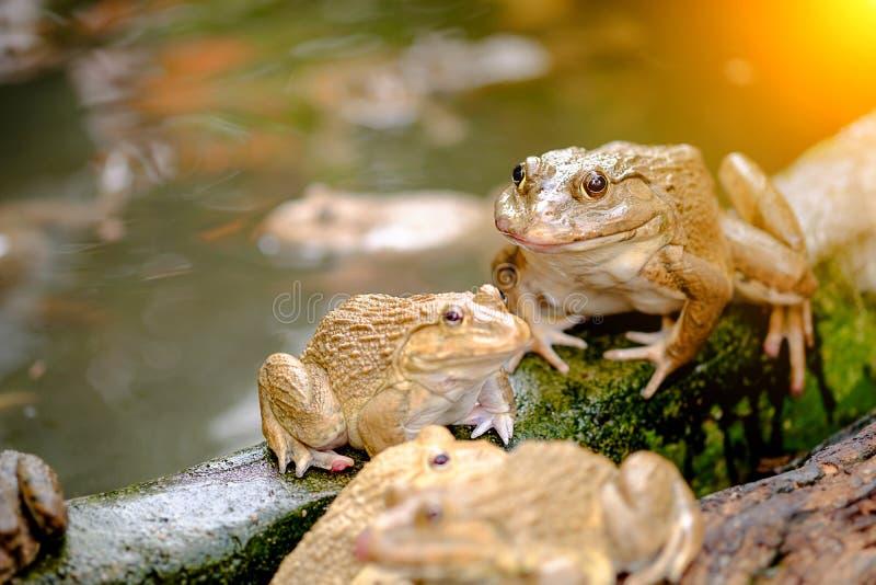 泰国青蛙的池塘 免版税库存图片