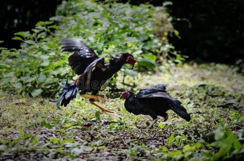 泰国鸡战斗机 免版税库存图片